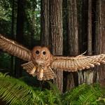Redwoods owl