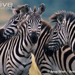 Zebra Social Interaction