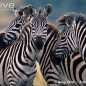 Zebra Social Interaction