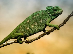 Exotic animal - Lizzard