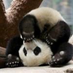 Panda upside down