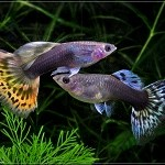 Guppy fish, or a binary options strategy?