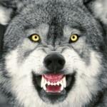 wolf behind, beware!