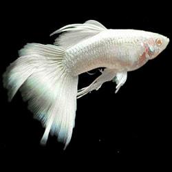 The Guppy Fish